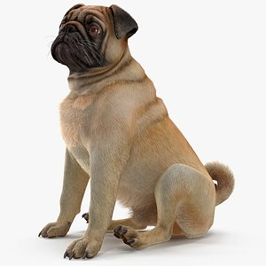 pug dog sitting pose 3D model