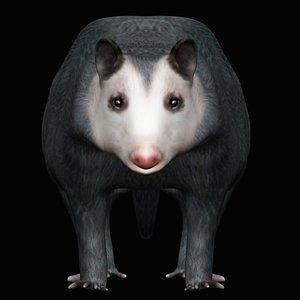 Fully Rigged Low Polygon Possum opossum model