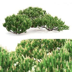 trees mugo 3D model