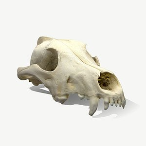3D wolf skull