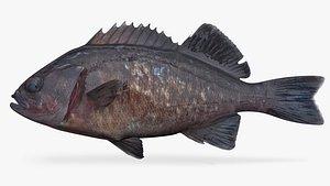 3D Blue Rockfish model