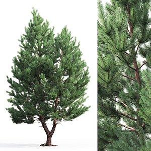 3D pine sylvestris 01