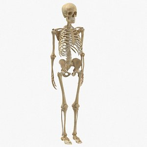 3D human woman skeleton bones model