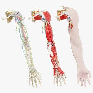 3D Human Male Arm Anatomy model