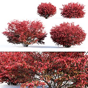 bush euonymus 3D model