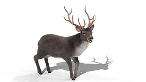 Fur Rigged Gray Deer Stag Blender 3D model