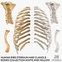 Human Ribs Sternum and Clavicle Bones Collection White and Yellow - 28 models