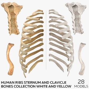 Human Ribs Sternum and Clavicle Bones Collection White and Yellow - 28 models model
