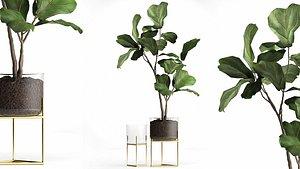 Ficus lyrata trees in a GLASS FLOWERPOT 959 3D model