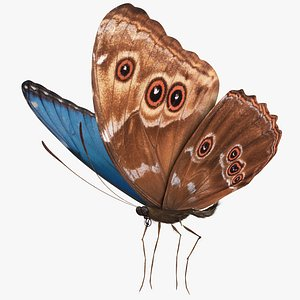 3D Blue Morpho Butterfly Morpho peledes 4K Textures model