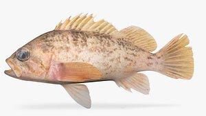 3D kelp rockfish fish