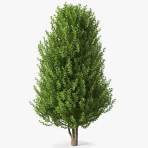sweet bay laurel tree 3D model