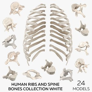 Human Ribs and Spine Bones Collection White - 24 models 3D model
