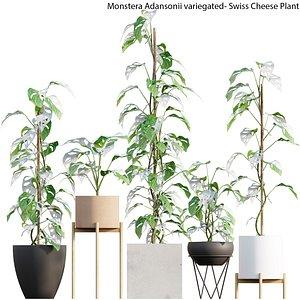 Monstera Adansonii variegated- Swiss Cheese Plant model