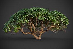 3D model XfrogPlants Hibiscus Tiliaceus