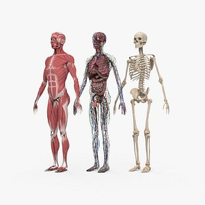 Complete Male Anatomy 3D