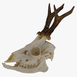 3D Roe Deer (Capreolus Capreolus) Skull 01 RAW Scan