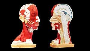 3D Human Head Muscles model