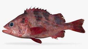 darkblotched rockfish fish 3D model