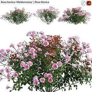 Rosa bonica Meidomonac - Rose flower 01 3D model