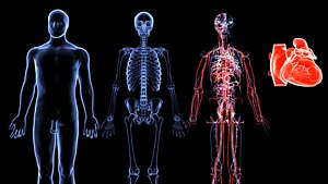 Human Circulatory System Anatomy Blue and Red Transparent X-ray 3D model