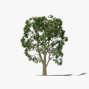 Platanus Tree 3D model