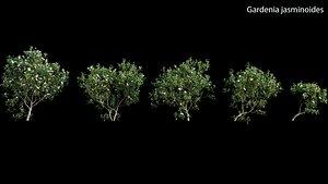 Gardenia augusta - Houttuynia - Gardenia jasminoide 3D model