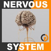 Human Brain and Nervous System - Anatomy