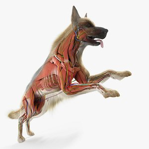 dog anatomy animation model