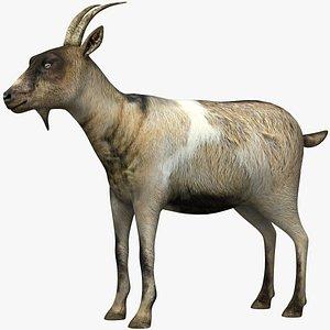 domestic goat 3D