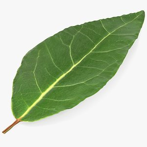 3D fresh laurel leaf