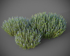 3D model XfrogPlants Rosemary - Rosmarinus Officinalis
