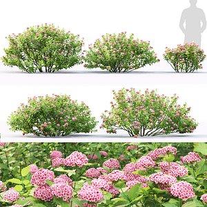3D Spiraea betulifolia Pink Sparkler 01
