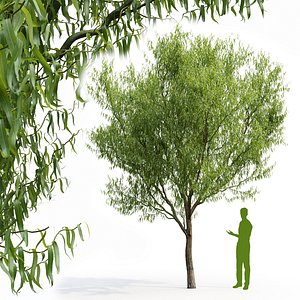Willow Salix matsudana V1 3D