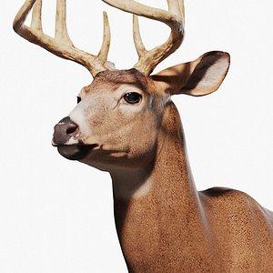 White tailed Deer Virginia Deer Zbrush 3D model
