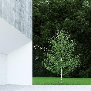 betula pendula birch 5m 3D model