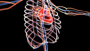 3D Human Circulatory System Blue and Red Transparent