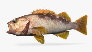 olive rockfish 3D model