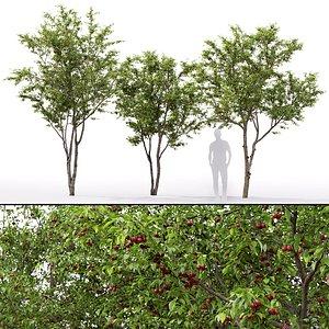 3D model cherry cerasus tree