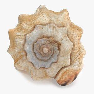 Vasum Truncatum Seashell 3D model