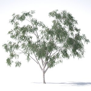 eucalyptus pauciflora tree 3D model