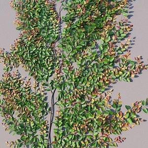 3D model XfrogPlants Creeping Fig - Ficus Pumila