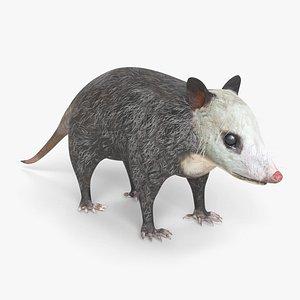opossum possum 3D