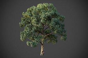 3D XfrogPlants Southern Live Oak - Quercus Virginiana