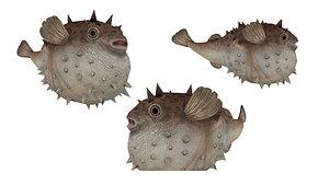 3D model Puffer Coral fish blow fish 3D model