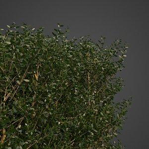 3D plants common boxwood hedges