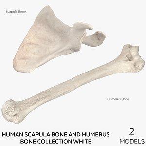 3D Human Scapula Bone and Humerus Bone Collection White - 2 models model