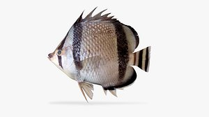 3D threebanded butterflyfish