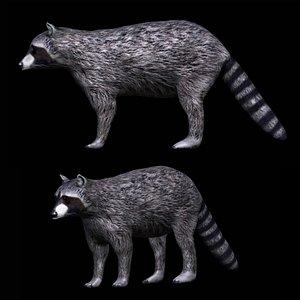 3D fully rigged grey raccoon