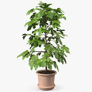 3D potted small fig tree